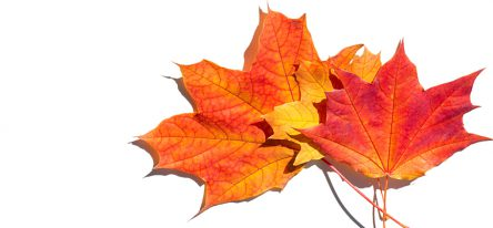 Three autumn maple leaves fanned on a white background.